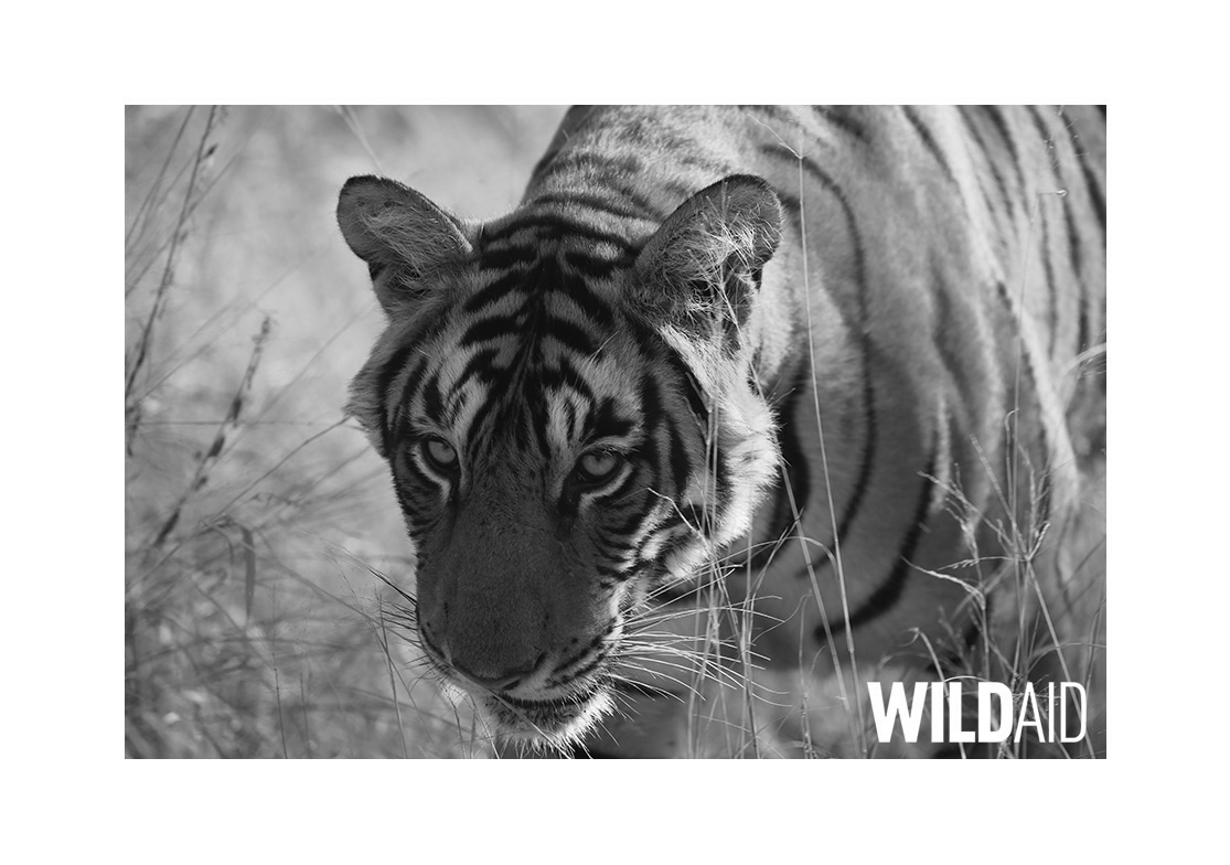 wildaid tiger index